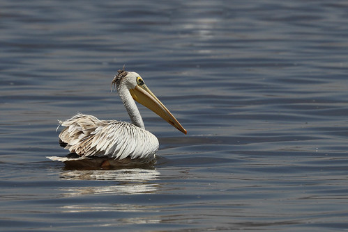 Great White Pelican (Pelecanus onocrotalus) on Lake Naivasha, Kenya 0767