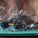 Starling bath time ... full throttle 2 by Stu McCannell