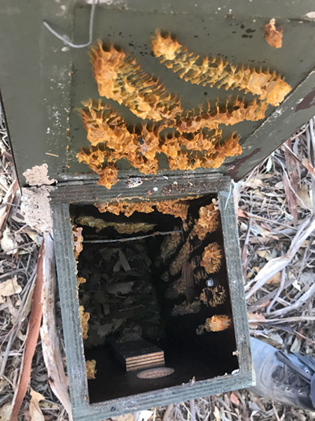 Nest box with honeycomb left by feral bees