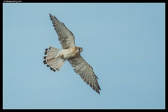 Nankeen Kestrel: Takeaway Food