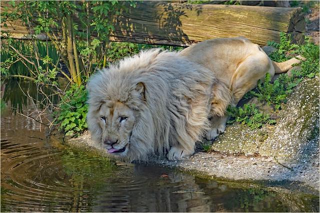 Rare white lion king