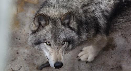 Wolf @parcomega, Canada