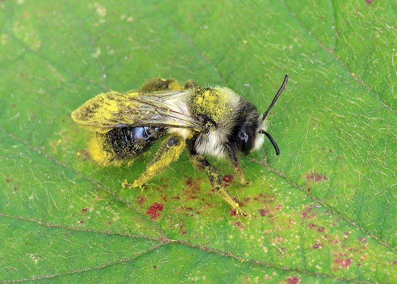 Ashy Mining Bee - Andrena cineraria