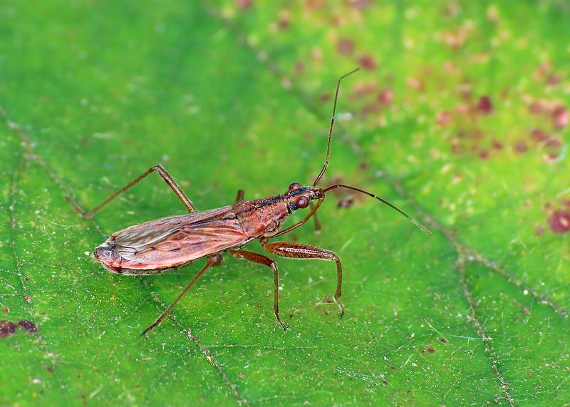 Common Damselbug - Nabis rugosus