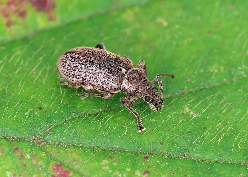 Common Leaf Weevil - Phyllobius pyri