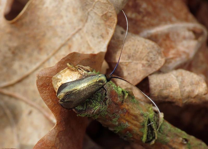 07.006 Green Long-horn -  Adela reaumurella