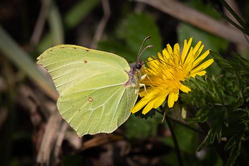(397) Butterfly - Brimstone - Wheatfen