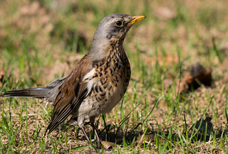 Thrush bird (Turdus pilaris_ | by FromMoscowWithLove