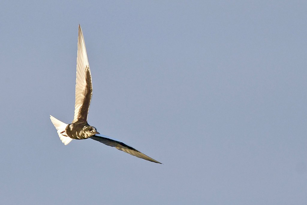 White- winged Tern