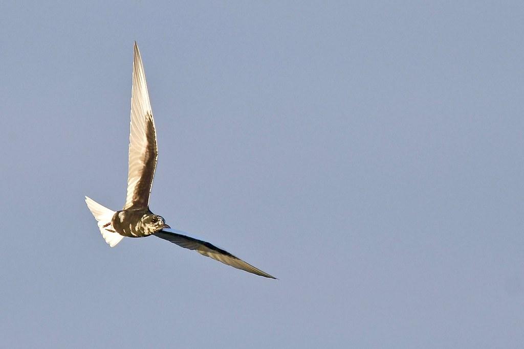 White- winged Tern