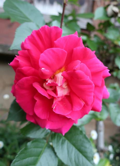 Pink rose 2019