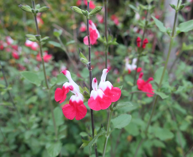 red and white salvia 2019