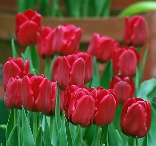 Tulips for Amsterdam   by noelcmn