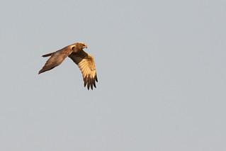 Bruine Kiekendief / Eurasian Marsh Harrier