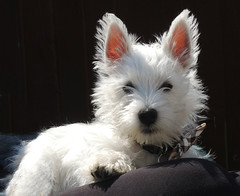 Jock - Westie - West Highland White Terrier