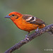 A Perched Male Flame-colored Tanager