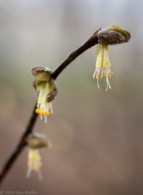 Dirca palustris 1