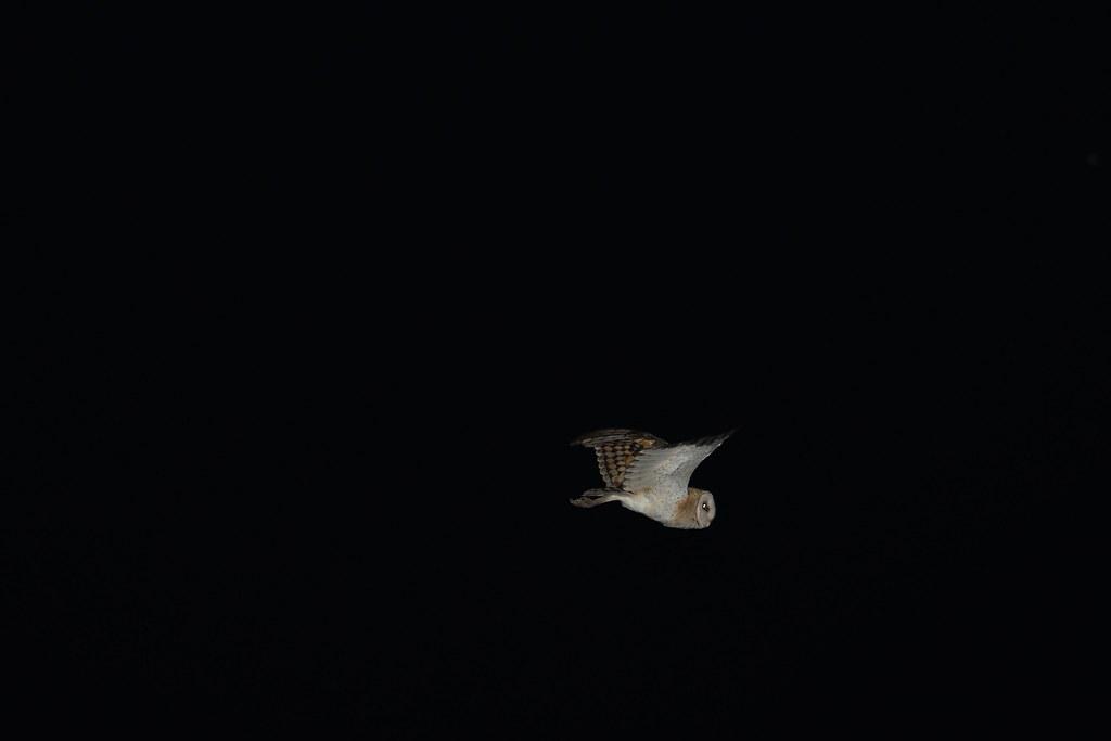 沙崙草鴞幼鳥1-台南鳥會提供