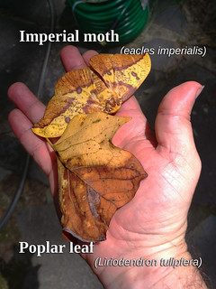 Imperial Moth with Camouflage Leaf