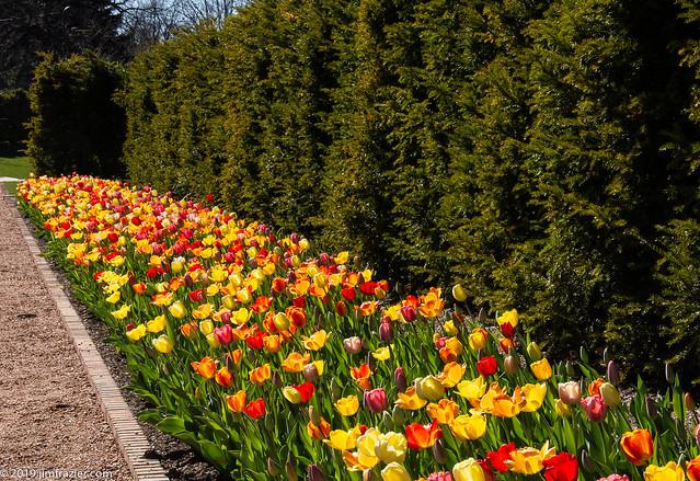 Tulip Explosion at Cantigny 5