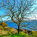Scotland West Highlands Argyll a tree on the north west coast of the island of Cumbrae 22 April 2019 by Anne MacKay