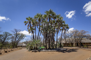 Lala-palms (Hyphaene petersiana)