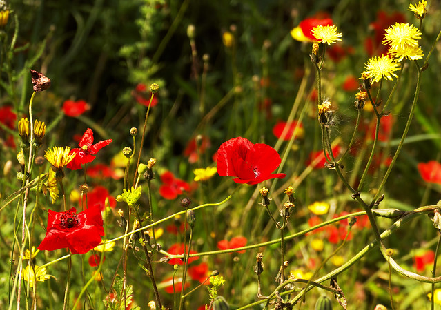 Poppies … what a lovely word