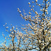 Apple blossom, Pebrieres