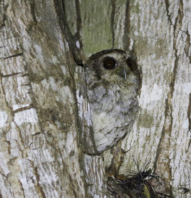 Bare-legged Owl, Margarobyas lawrencii Ascanio_Cub2 199A2710