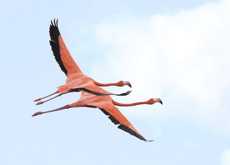 American Flamingo, Phoenicopterus ruber Ascanio_Cuba 2_2 199A1305