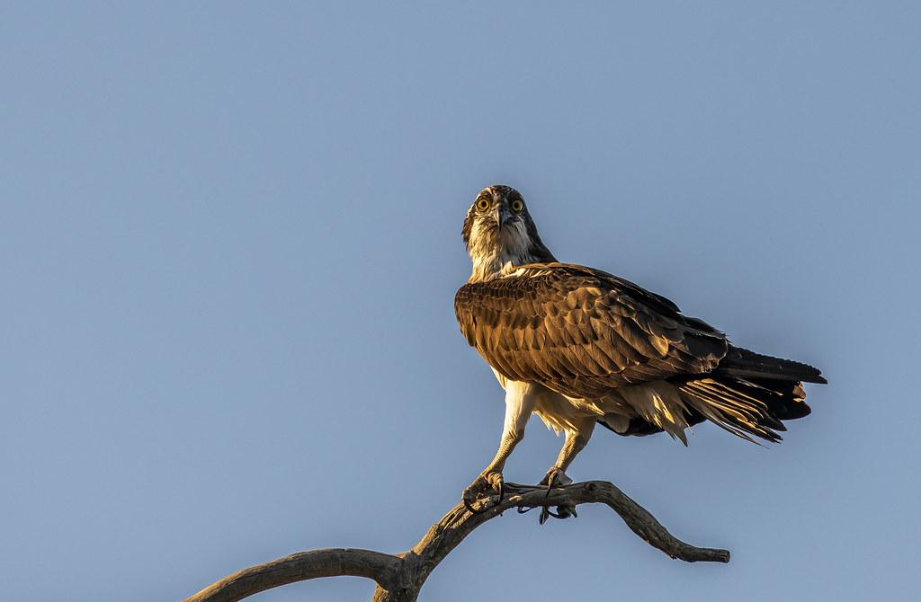 Osprey in Golden Light-1