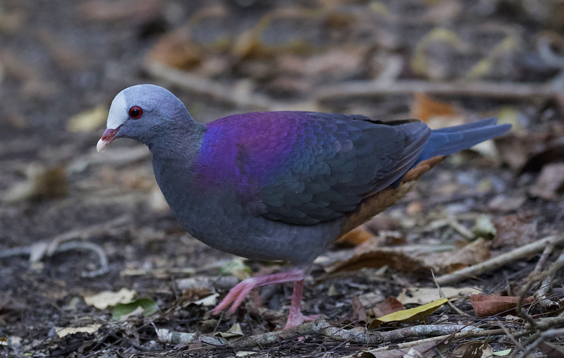 Gray-fronted Quail-Dove, Geotrygon caniceps Ascanio_Cub2 199A3364