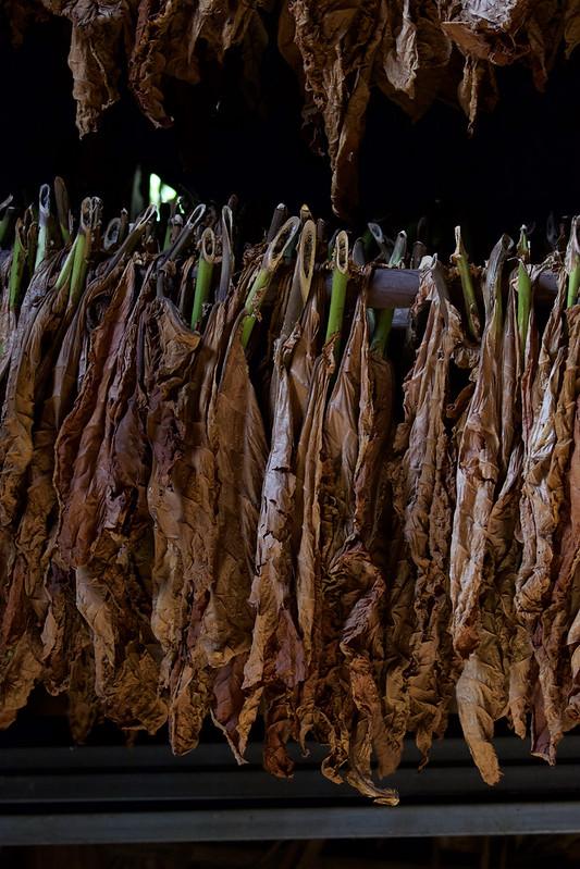 Tobacco Farm Ascanio_Cub 2 199A4695