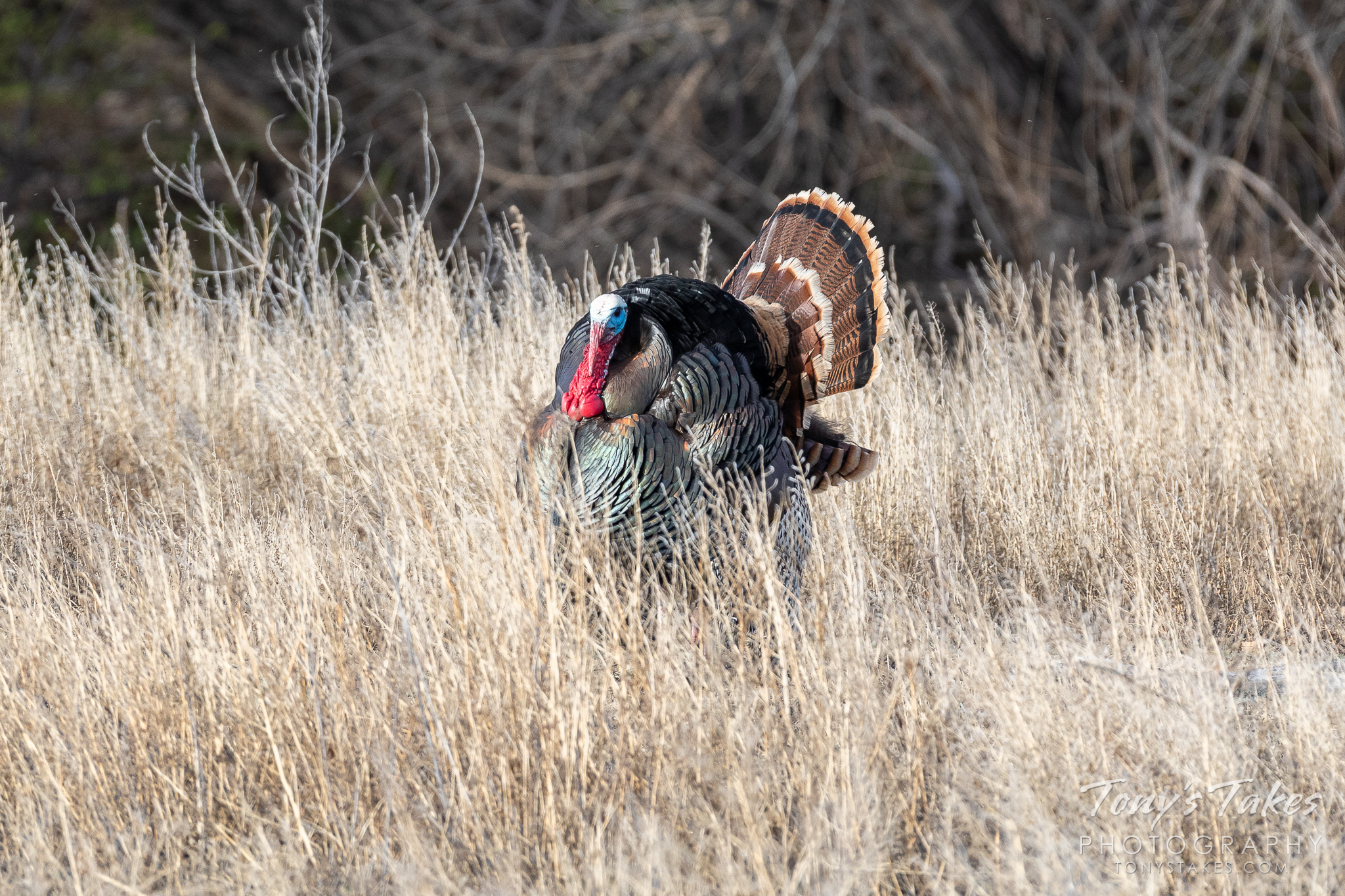 A turkey tom struts his stuff for the ladies. (© Tony's Takes)