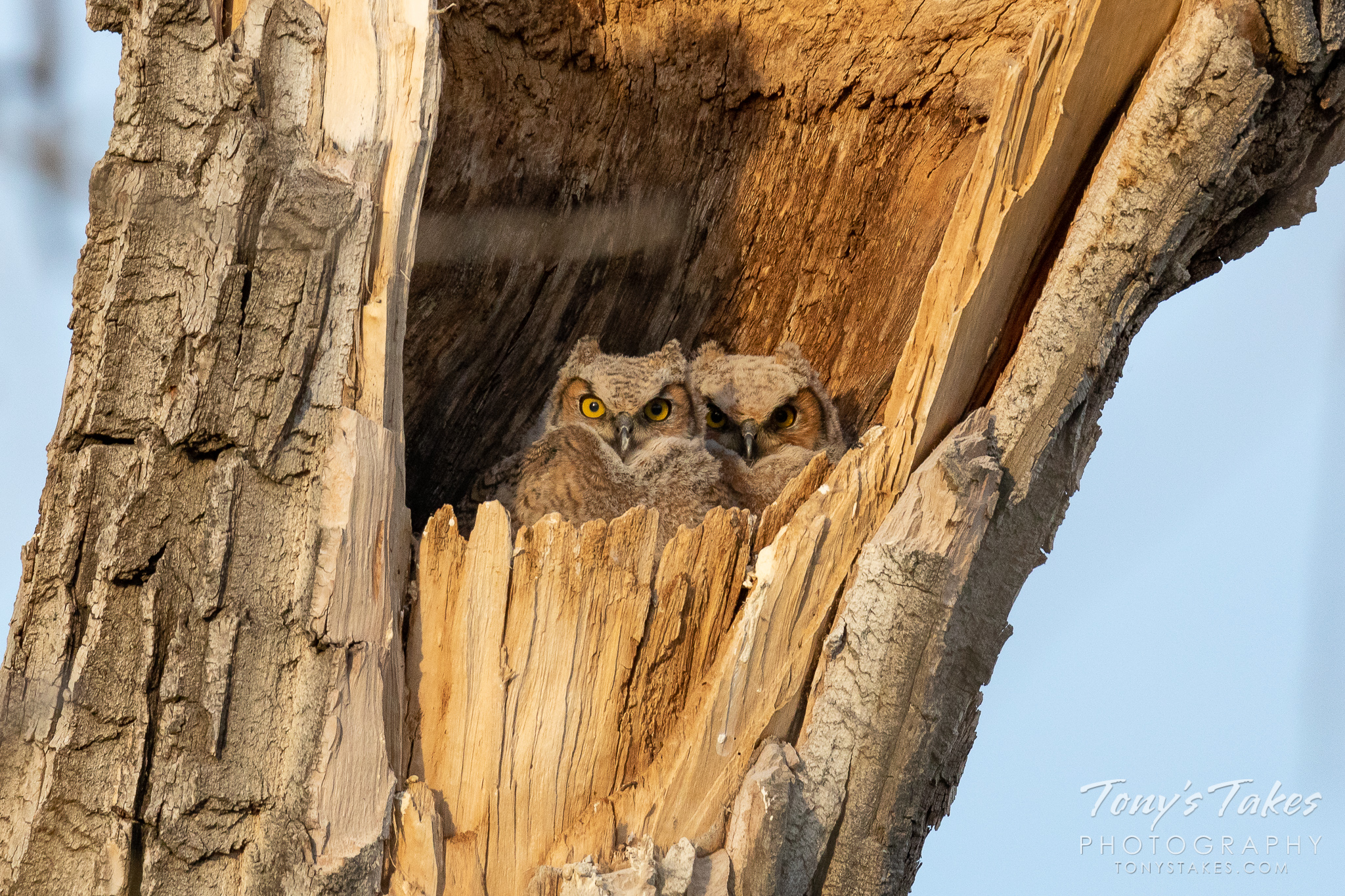 Great horned owl owlets keep watch from their home in a tree in Adams County, Colorado. (© Tony's Takes)