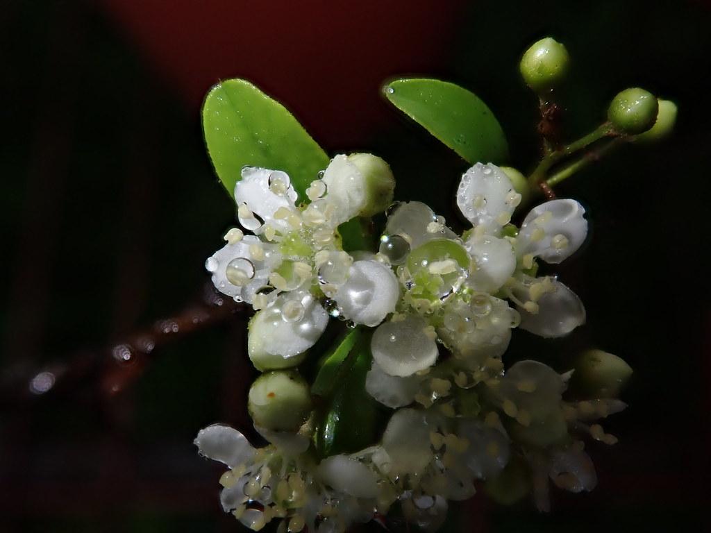 台東火刺木開白花,3月起陸續開花,過去是東部民眾小時候的共同記憶。攝影:廖靜蕙