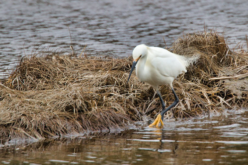 2019 canada novascotia ns clamharbour bird wildlife snowyegret egrettathula eosm5 canon100400mm luminar madewithluminar