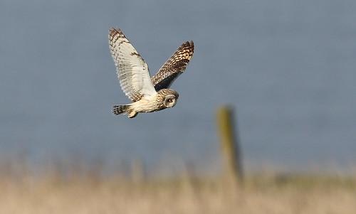 Short-eared Owl,hunting the grasslands.