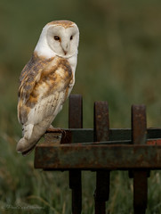 Agriculturally barn owl