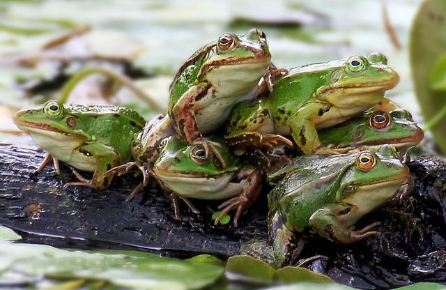 Six frogs