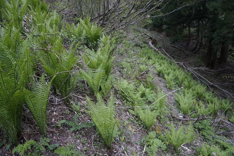 kogomi field