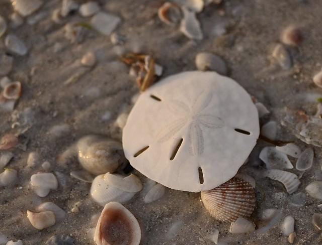Just a pretty sand dollar