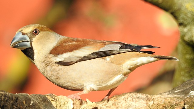 Hawfinch ♀ (Coccothraustes coccothraustes)