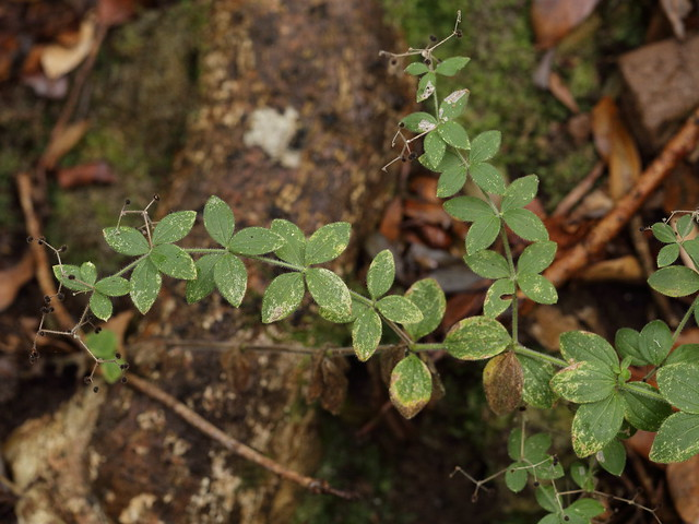 plant with stange-fruited clovers