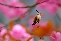 Lady Hummingbird in the Cherry Blossoms