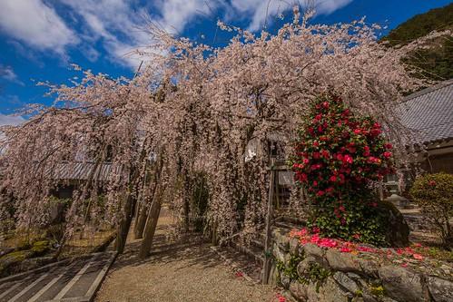 hanami hōzōji japan nara sakura uda cherryblossoms matsuri shidarezakura しだれ桜 宝蔵寺 桜 花見 yoshino naraprefecture