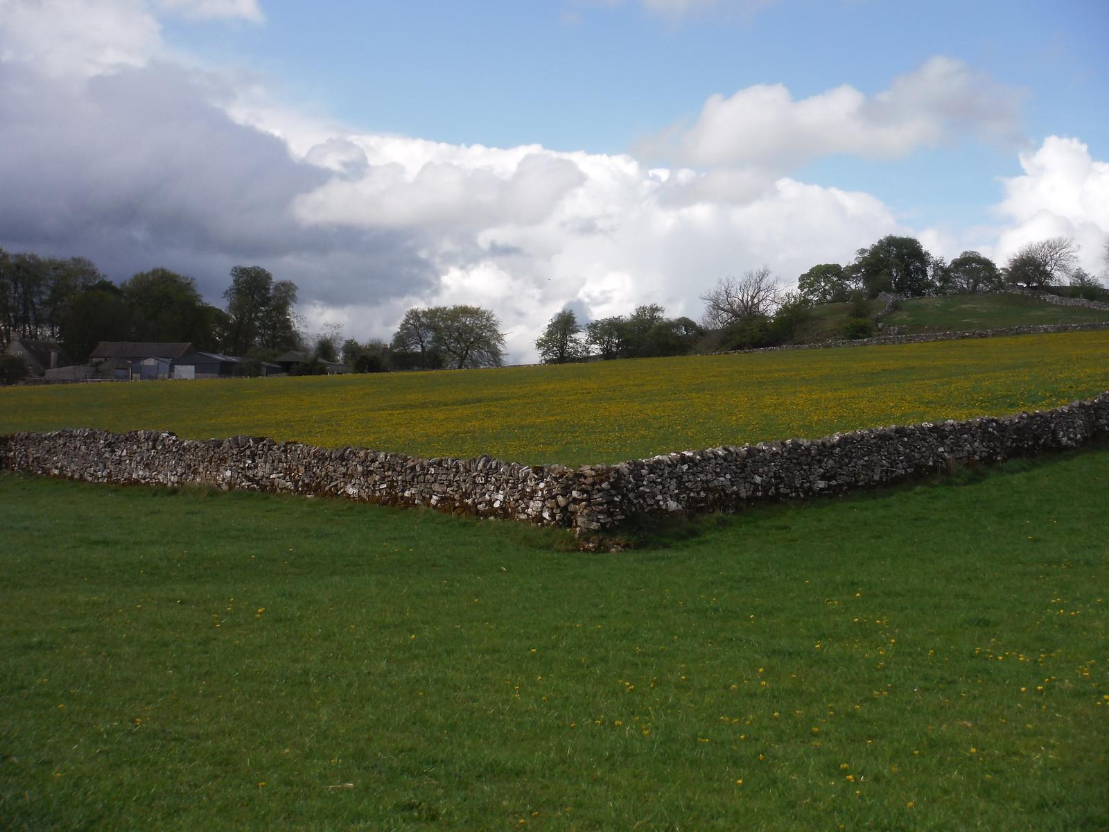 Dandelions in Field, near Church Farm, Stanshope SWC Walk 326 - Dovedale (Ashbourne Circular) [Long Version via Alstonefield]