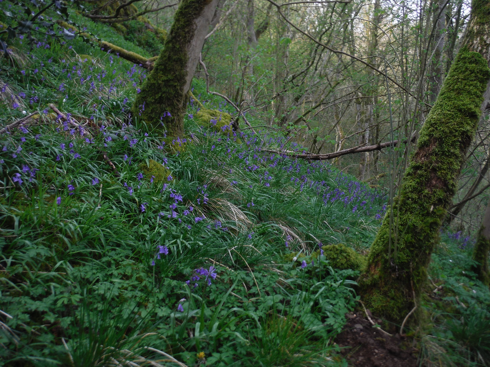 Bluebells in Dovedale Wood SWC Walk 326 - Dovedale (Ashbourne Circular)