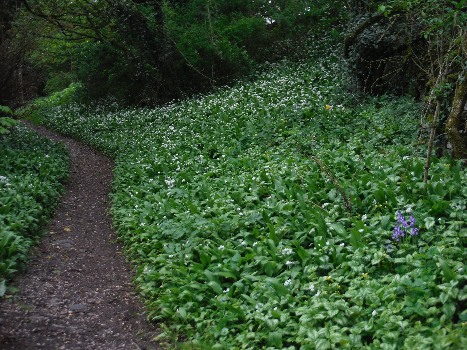 Wild Garlic and a Bluebell, near St. Leonhard's Church, Thorpe SWC Walk 326 - Dovedale (Ashbourne Circular)