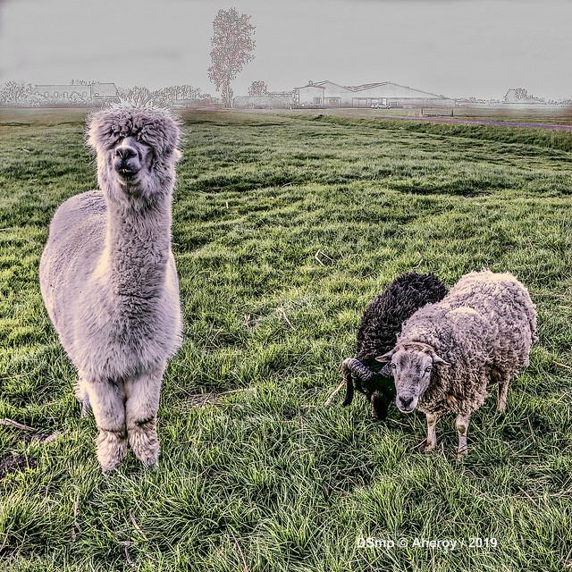 Alpaca & Sheep,Groninger Landschap ,Groningen ,the Netherlands,Europe